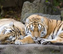 Wallpaper gratuito de tigres descansando, en HD.